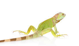 Πράσινο iguana οπισθοσκόπο η ανασκόπηση απομόνωσε το λευκό Στοκ Φωτογραφίες