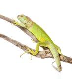 Πράσινο iguana που σέρνεται στον ξηρό κλάδο η ανασκόπηση απομόνωσε το λευκό Στοκ Εικόνα