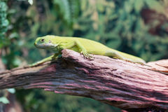 Πράσινο iguana σαυρών σε ένα δέντρο σε μια δασική κινηματογράφηση σε πρώτο πλάνο Στοκ Εικόνες