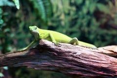 Πράσινο iguana σαυρών σε ένα δέντρο σε μια δασική κινηματογράφηση σε πρώτο πλάνο Στοκ φωτογραφία με δικαίωμα ελεύθερης χρήσης