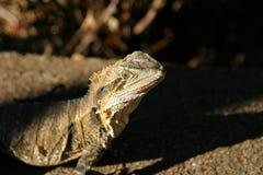 Πράσινο iguana σαυρών Στοκ Εικόνες