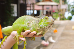 Πράσινο iguana στα χέρια του ατόμου Στοκ Εικόνες