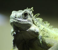 Πράσινο iguana στενό Στοκ Εικόνες