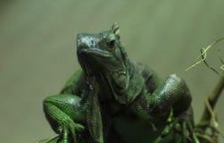 Πράσινο iguana στενό Στοκ Φωτογραφία
