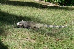 Πράσινο Iguana στη χλόη Στοκ Εικόνα