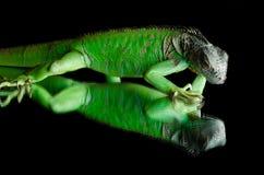 Πράσινο iguana στον καθρέφτη Στοκ Φωτογραφία