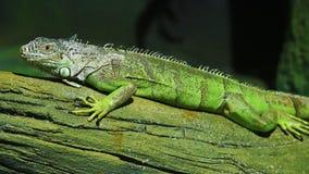 Πράσινο Iguana στον κλάδο απόθεμα βίντεο