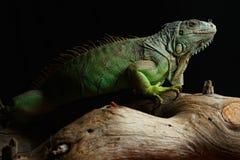 Πράσινο Iguana στον κλάδο Στοκ Εικόνα