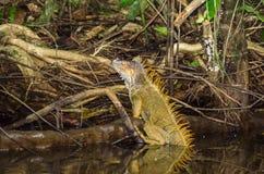 Πράσινο iguana στο εθνικό πάρκο Tortuguero, Κόστα Ρίκα Στοκ Εικόνες