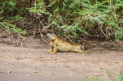 Πράσινο iguana στο εθνικό πάρκο Tortuguero, Κόστα Ρίκα Στοκ Φωτογραφίες