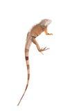 Πράσινο Iguana στο λευκό Στοκ Εικόνες