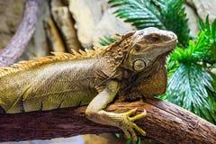 Πράσινο iguana Iguana iguana στο ζωολογικό κήπο Στοκ Εικόνες