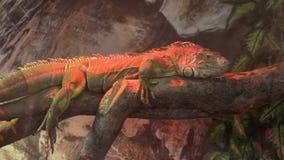 Πράσινο iguana στο ζωολογικό κήπο απόθεμα βίντεο