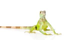 Πράσινο iguana στο μέτωπο η ανασκόπηση απομόνωσε το λευκό Στοκ φωτογραφία με δικαίωμα ελεύθερης χρήσης