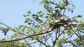 Πράσινο Iguana στο Μεξικό Στοκ εικόνα με δικαίωμα ελεύθερης χρήσης