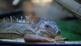 Πράσινο iguana στο iguana Iguana terrarium απόθεμα βίντεο