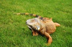 πράσινο iguana Στοκ Εικόνες