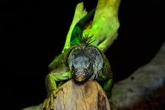 πράσινο iguana Στοκ Φωτογραφία