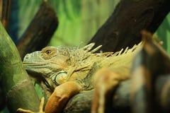 πράσινο iguana στοκ εικόνα με δικαίωμα ελεύθερης χρήσης