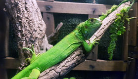 πράσινο iguana Στοκ Εικόνα