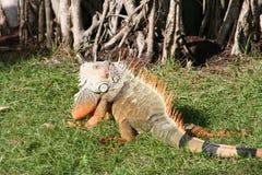 Πράσινο iguana 3 Iguana Iguana Στοκ Εικόνες