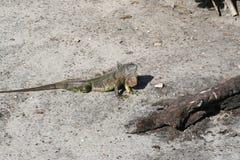 Πράσινο iguana 1 Iguana Iguana Στοκ φωτογραφία με δικαίωμα ελεύθερης χρήσης
