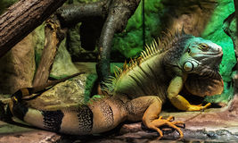 Πράσινο iguana - iguana Iguana, ζωικό πορτρέτο Στοκ Φωτογραφίες