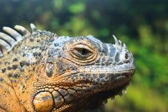 Πράσινο Iguana (Iguana Iguana), κόκκινη μορφή Στοκ Φωτογραφία