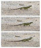 Πράσινο Iguana (iguana Iguana) που περπατά Στοκ εικόνες με δικαίωμα ελεύθερης χρήσης