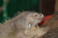 Πράσινο Iguana - iguana Iguana Στοκ εικόνα με δικαίωμα ελεύθερης χρήσης