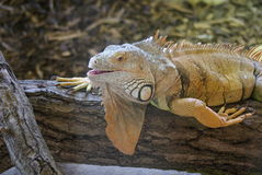 Πράσινο Iguana - iguana Iguana Στοκ Εικόνα
