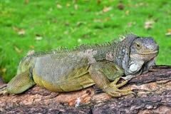 Πράσινο iguana IguanaIguana Στοκ φωτογραφία με δικαίωμα ελεύθερης χρήσης