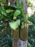 Πράσινο jackfruit στο δέντρο στον οπωρώνα, τοπικά φρούτα της Ταϊλάνδης Στοκ φωτογραφία με δικαίωμα ελεύθερης χρήσης