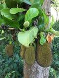 Πράσινο jackfruit στο δέντρο στον οπωρώνα, τοπικά φρούτα της Ταϊλάνδης Στοκ Φωτογραφίες