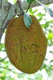 Πράσινο jackfruit Στοκ φωτογραφία με δικαίωμα ελεύθερης χρήσης