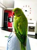 Πράσινο jn παπαγάλων το άσπρο και κόκκινο δωμάτιο Στοκ Φωτογραφία