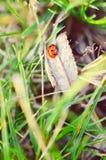 πράσινο ladybug χλόης Στοκ εικόνα με δικαίωμα ελεύθερης χρήσης