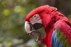 πράσινο macaw φτερωτό Στοκ Φωτογραφία