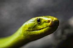 Πράσινο mamba επάνω στενό στοκ εικόνα