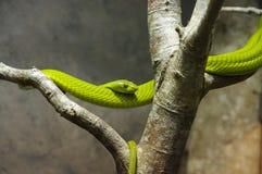 πράσινο mamba Στοκ Εικόνα