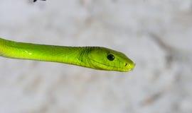 πράσινο mamba Στοκ εικόνες με δικαίωμα ελεύθερης χρήσης