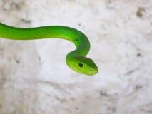 πράσινο mamba Στοκ Φωτογραφίες