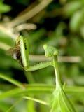 Πράσινο Mantid 1 στοκ φωτογραφία με δικαίωμα ελεύθερης χρήσης