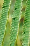 πράσινο mimosa φύλλων Στοκ Εικόνες