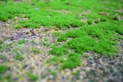 Πράσινο MOS Στοκ φωτογραφία με δικαίωμα ελεύθερης χρήσης