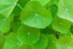 Πράσινο nasturtium υπόβαθρο φύλλων Στοκ Εικόνες