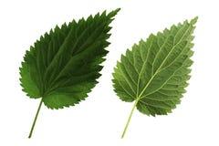 Πράσινο nettle φύλλων δύο που απομονώνεται από την άσπρη πλευρά υποβάθρου, κορυφών και κατώτατων σημείων του φύλλου στοκ εικόνες