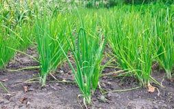 Πράσινο onions Στοκ Εικόνες