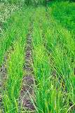 Πράσινο onions Στοκ εικόνες με δικαίωμα ελεύθερης χρήσης