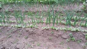 Πράσινο onions Στοκ φωτογραφίες με δικαίωμα ελεύθερης χρήσης